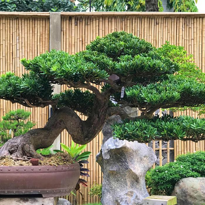 Origami Quận 9 - cây Tùng La Hán được biết đến rộng rãi ở Nhật Bản