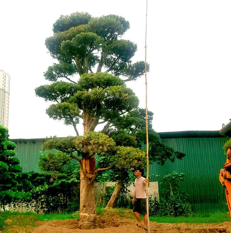 Origami Quận 9 - cây Tùng La Hán dáng trực mang đến tài lộc cho gia chủ