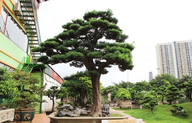 Giải mã ý nghĩa giống cây Tùng La Hán tại Origami quận 9